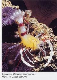 94 Креветки Stenopus zanzibaricus