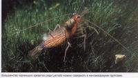 96 Маленькие креветки рода Lysmata