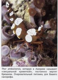 98 «Сексуальная креветка» Thor amboinensis