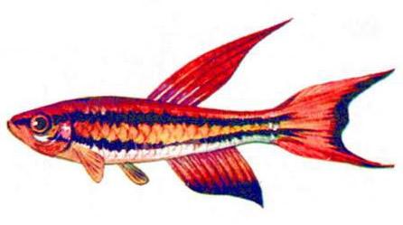 Афиосемион двухполосый (а — самец, б — самка)