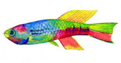 Афиосемион (голубой фазан)