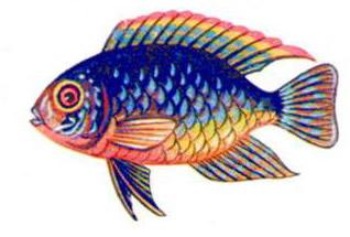 Акара голубая