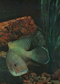 Акары (Aquidens)