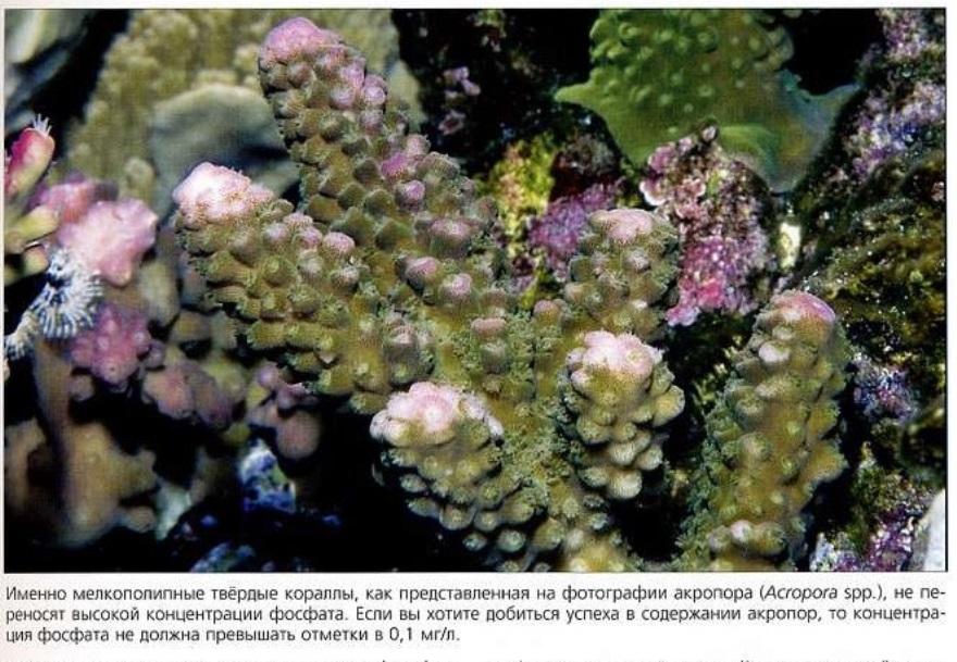 Акропора (Acropora spp.) не переносит высокой концентрации фосфата