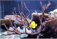 Акропоры в аквариуме