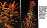 Аквариумные растения с красными листьями