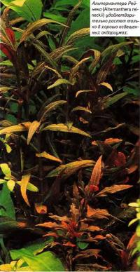 Альтернантера Рейнека (Alternanthera reineckii)