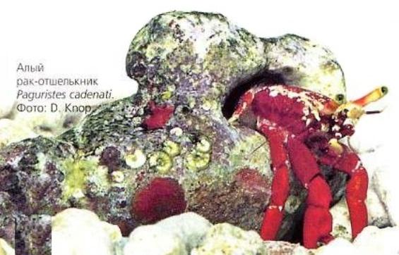 Алый рак-отшельник (Paguristes cadenati)