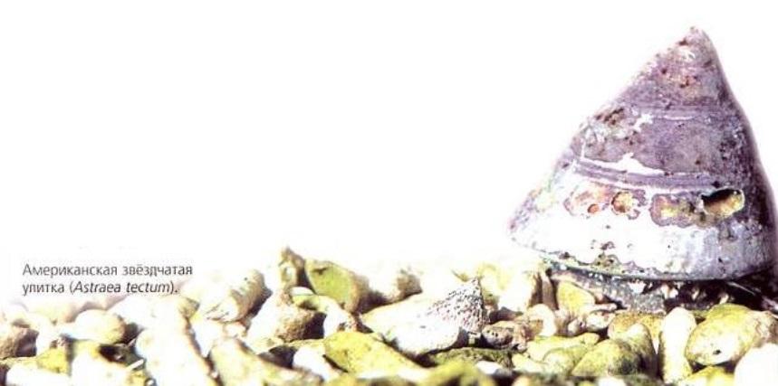 Американская звёздчатая улитка (Astraea tectum)