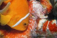 Амфиприоны и актинии в коралловом рифе