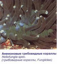 Анемоновые грибовидные кораллы