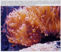Анемоновый аквариум с рыбой-клоуном Amphiprion percula