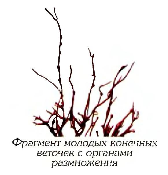 Анфельция складчатая (фрагмент)