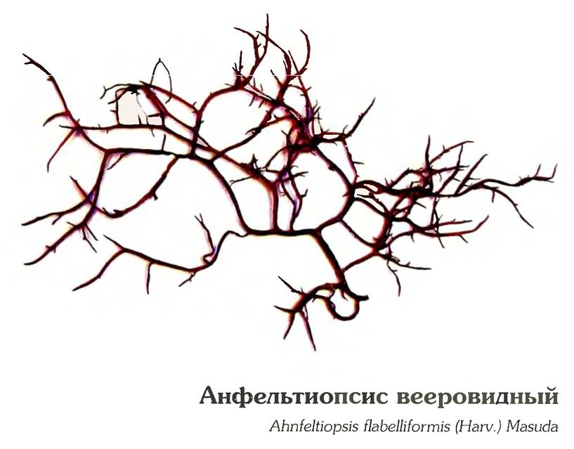 Анфельтиопсис вееровидный