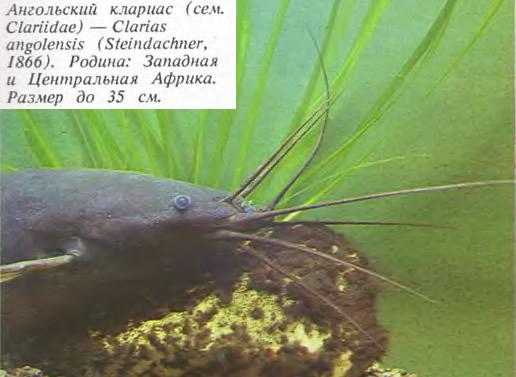 Ангольский клариас