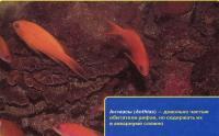Антиасы, частые обитетали рифов