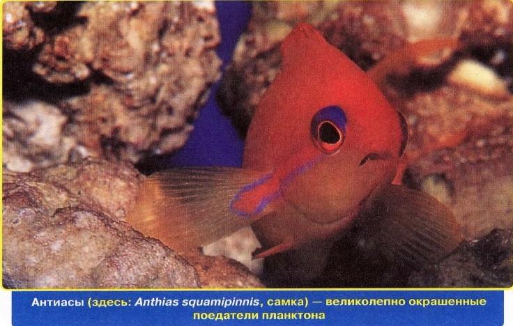 Антиасы -поедатели планктона