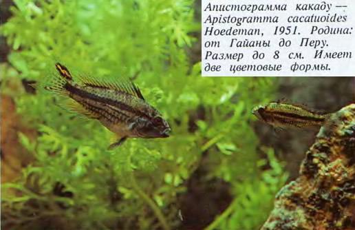 Апистограмма какаду
