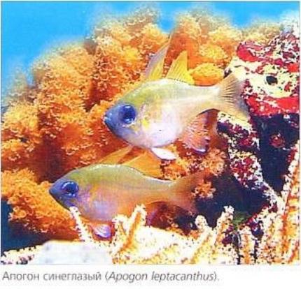 Апогон синеглазый (Apogon leptacanthus)