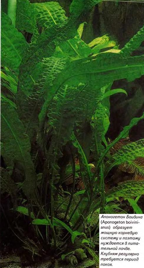 Апоногетон Боивина (Aponogeton boivinianus)