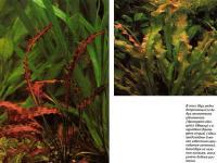 Апоногетон удлиненный (Aponogeton elongatis) и а. курчавый (Aponogeton crispus)