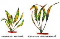 Апоногетон