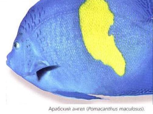 Арабский ангел (Pomacanthus maculosus)