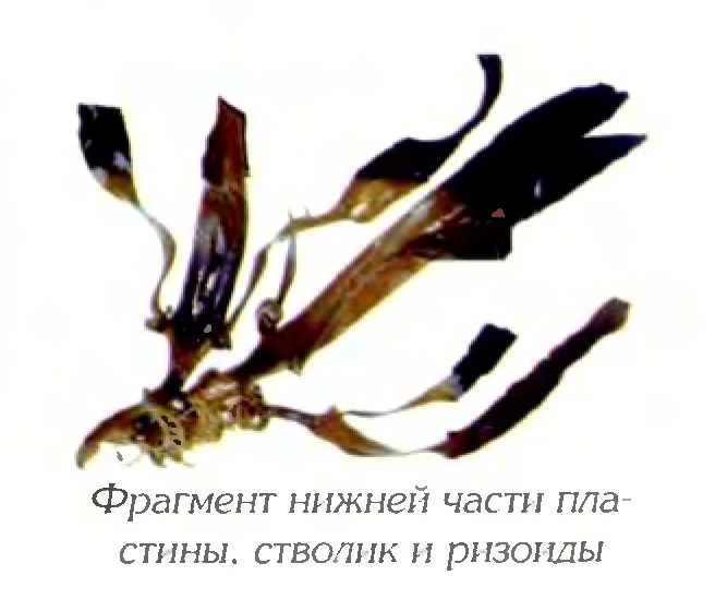 Артротамнус двураздельный (фрагмент)