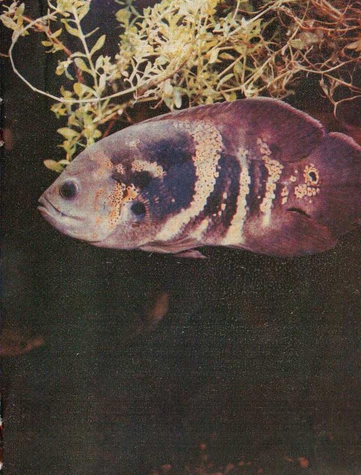 Астронотусы (Astronotus ocellatus)