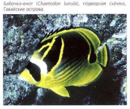 Бабочка-енот (Chaetodon lunula)