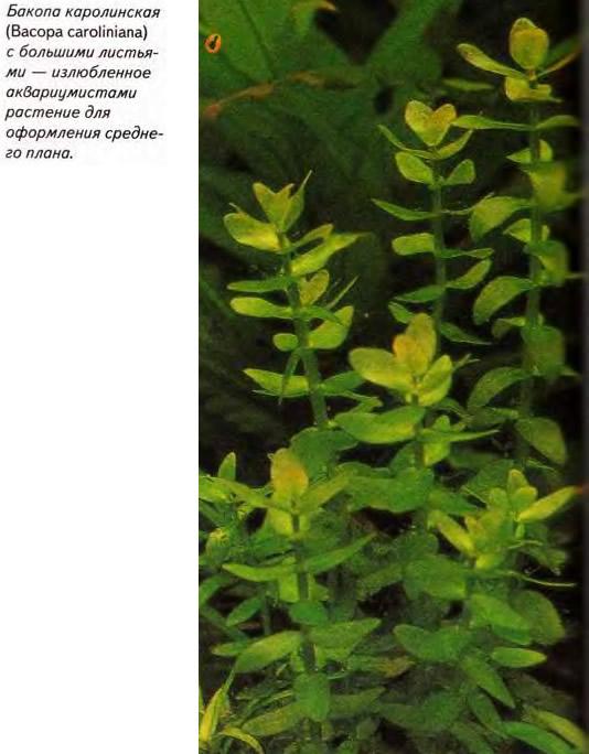 Бакопа каролинская (Васора caroliniana)
