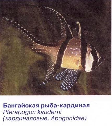 Бангайская рыба-кардинал