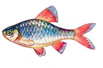 Барбус олиголепис (самец)
