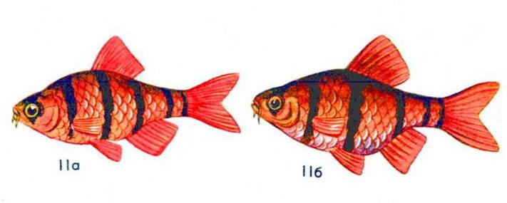 Барбус пятиполосый (а — самец, б — самка)