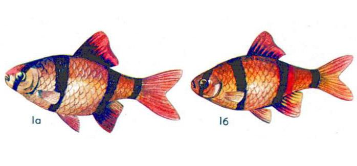 Барбус суматранский (а — самец, б — самка)