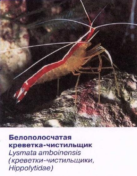 Белополосчатая креветка-чистильщик