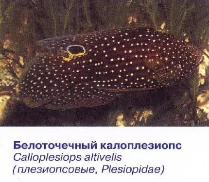 Белоточечный калоплезиопс