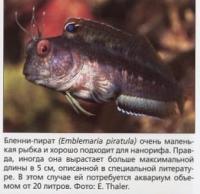 Бленни-пират (Emblemaria piratula) иногла вырастает больше 5 см