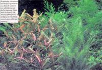 Болотные растения под водой изменяют свой внешний вид и окраску