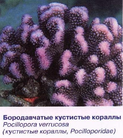 Бородавчатые кустистые кораллы