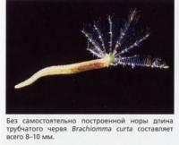 Brachiomma curta длиной всего 8-10мм