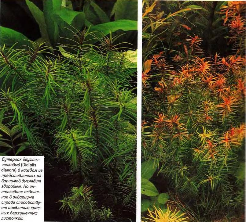 Бутерлак двухтычинковый (Didiplis diandra)