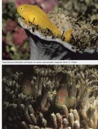 Бычки Gobiodon okinawae в кораллах