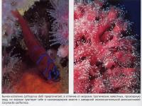 Бычок-каталина Lythrypnus dalli и незооксантелльная дискоактиния Corynactis californica