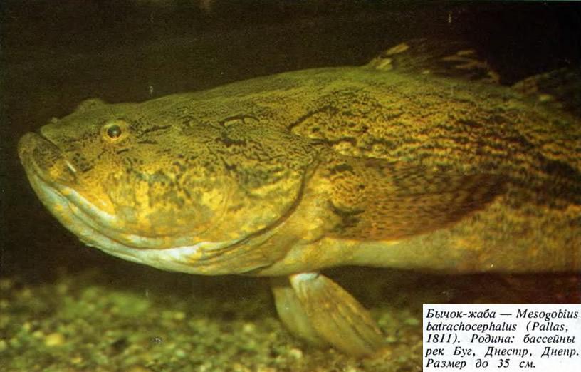 Бычок-жаба
