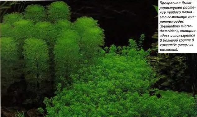 Быстрорастущее растение первого плана - гемионтус микрантемоидес