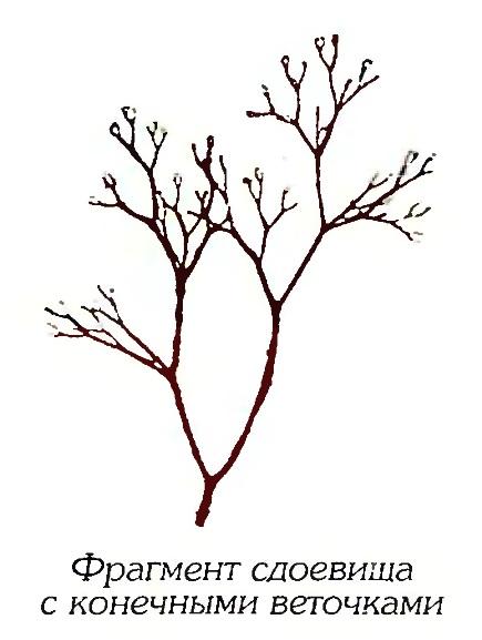 Церамиум Кондо (фрагмент)
