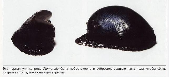 Чёрная улитка рода Stomatella