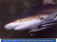 Чернопёрая акула