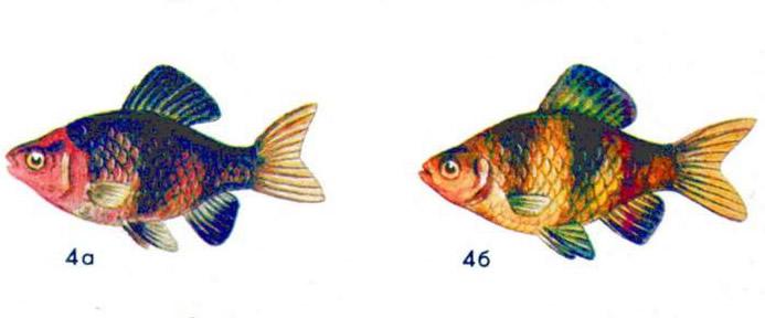 Черный барбус (а — самец, б — самка)